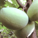 ■良品果樹苗■ポポーノキウィルソン 接木苗5号鉢