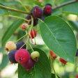 ★■良品果樹苗■赤い実が美しいジューンベリー9号鉢H180cm