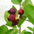 ■良品果樹苗■ジューンベリープリンセスダイアナ5号ポット苗