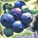 ■良品果樹苗■ブルーベリー サザンハイブッシュ系 ヒトミ5号ポット