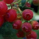 ■良品果樹苗■ブルーベリーハイブリッドブルーベリーピンクレモネード5号ポット苗