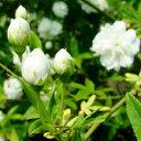 ■良品庭木■在庫一掃!モッコウバラ 白色 八重10.5cmポット