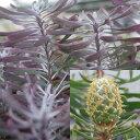 ■良品庭木■ネイティブ プランツ リューカデンドロン パープルヘイズ5号ポット