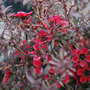 ■良品庭木■ネイティブ プランツ レプトスペルマム ナチューム ルブラム5号鉢