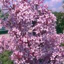 ■良品庭木■姫ライラック ジョシー 5号鉢