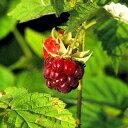 ■良品果樹苗■ラズベリー サマーフェスティバル4号ポット苗