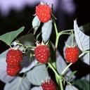 ■良品果樹苗■ラズベリー インディアンサマー 4号ポット