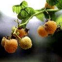 ■良品果樹苗■ラズベリー ファールゴールド(イエロー)4号ポット苗