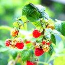 ■良品果樹苗■NEW!トゲナシラズベリー グレンアンプル5号ポット植え