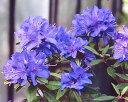■良品庭木■ブルーツツジ紫光(青花)9cmポット