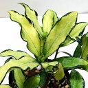 ■良品庭木■ジンチョウゲ(沈丁花)信濃錦斑入り赤花4号ポット