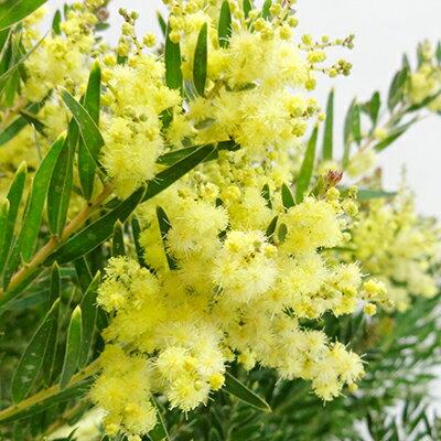 ■良品庭木苗■アカシア テレサ3号ポット植え