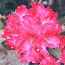 ■良品庭木■西洋シャクナゲマーキータズプライズ 赤大輪4.5号ポット苗