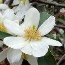 ■良品庭木■雲南オガタマ白花ウンナンオガタマ3号ポット苗