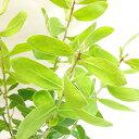 ■良品庭木■ネイティブ プランツ プロテア オーレア4.5号...