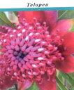 ■良品庭木■ネイティブ プランツ テロペア スペシオシッシマ...