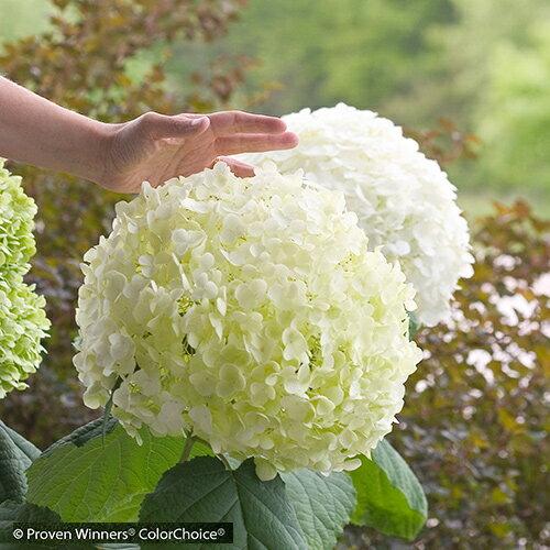 ■良品庭木■アジサイジャンボアナベルインクレディボール5号ポット植え