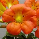 ■良品庭木■ビレア マレーシアシャクナゲ ハイランド オレンジ(スカーレット)4〜4.5号ポット(鉢)
