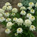 ■宿根草■エキナセア ダブル咲きメレンゲ13cm硬質ポット