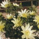 ■宿根草■フクジュソウ白花福寿草 白寿 1芽9cmポット苗
