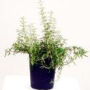 ■季節のハーブ大苗■ローズマリープロストラータスしっかり根の張ったロングポット3.5号鉢