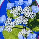 ヤマアジサイ 山紫陽花■山アジサイ■九重錦(ココノエニシキ)4号ポット