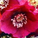 クリスマスローズ■宿根草■クリスマスローズ赤色系9cmポット