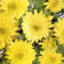 ■宿根草■フクジュソウ花園福寿草 1芽9cmポット苗