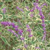 ■宿根草■サルビア レウカンサ 斑入り(アメジストセージ)10.5cmポット