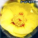 ■宿根草■松浦園芸さんのクリスマスローズシングルゴールド・ネクタリー系12cmロングポット