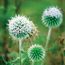 ■宿根草■ エキノプス (ルリタマアザミ) 白9cmポット