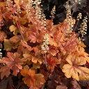 ■イギリス BLOOMSの宿根草■ ヒューケラ バタード ラム 9cmポット