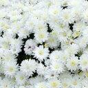 【ご予約商品♪ご予約区分C】■イギリス BLOOMSの宿根草■ 2度咲きデンドランセマ フロスティ イグロー 9cmポット