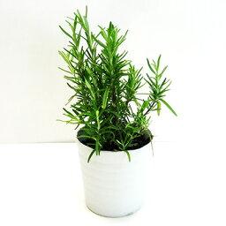 ■香りのハーブ苗■ローズマリー インガウノ(立ち性) 10.5cmポット苗