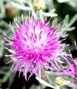 ■宿根草■ セントーレア ギムノカルパ 9cmポット