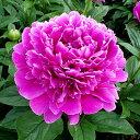 ■宿根草■切花用シャクヤク火祭10.5cmロングポット苗