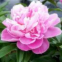 ■宿根草■切花用シャクヤク春の粧10.5cmロングポット苗