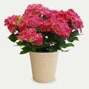 ■母の日ギフト鉢花■♪新色アジサイ 限定生産品 カーリースパ...