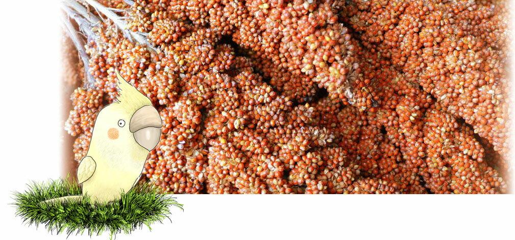 フランス産 紅 粟の穂 1kg×2: 鳥の餌 えさ