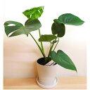 観葉植物 モンステラ 5号