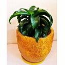 観葉植物 ドナセラ トルネード  陶器鉢入 送料無料