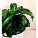 観葉植物 ドナセラ トルネード   送料無料