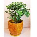 観葉植物 シェフレラ コンパクタ  クイーン 6号 陶器鉢入 送料無料