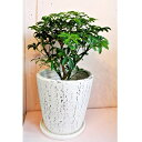 観葉植物 シェフレラ コンパクタ  クイーン 7号 陶器鉢入 送料無料