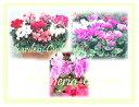 ◆「ガーデニング・シクラメン」♪植えて♪育てて♪楽しむシクラメン!【♪プルガ・花材市場!(ガーデニング市場)】