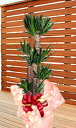 ユッカラン(青年の木)インテリアプランツ・グリーン(観葉植物)