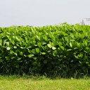 【種 6kg】 クロタラリア ネマックス 畑地 線虫対策 緑肥 [播種期:5〜7月] 雪印種苗 米S【代引不可】