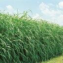 【種 6kg】 スーダン ヘイスーダン 極早生 酪農 畜産 緑肥 [播種期:5〜8月] 雪印種苗 米S【代引不可】
