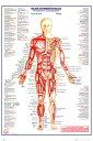 【送料¥290〜】 人体筋肉図 ポスター (英語表記) HUMAN-BODY Major Anterior Muscles【160701】
