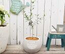 【オリーブ 鉢植え|オリーブMとスフィアスラッシュポットLLGの鉢植え】オリーブ 鉢 ガーデニング ベランダ ジャンクガーデン 鉢植え オリーブ鉢植え かわいい ネバティロブランコ ルッカ マンザニロ おしゃれ オリーブの鉢